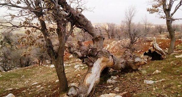 معیشتی که با نابودی جنگلهای زاگرس از بین میرود...