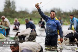 ماهیگیری دسته جمعی هیجان انگیز بابلسری ها را ببینید + تصاویر