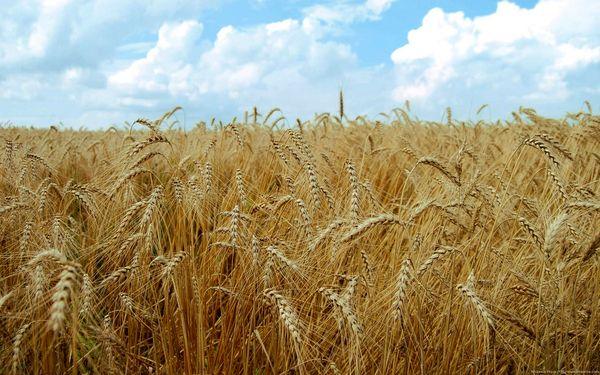 خرید تضمینی گندم در سال جاری ۶ درصد افزایش یافت