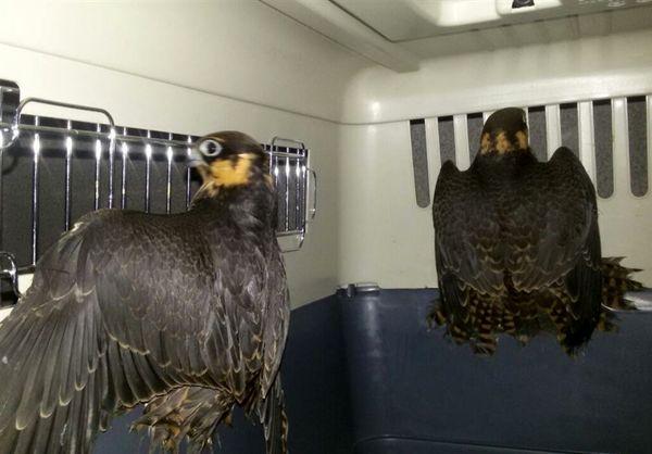 پرندگان شکاری و جانوران ارزشمند وحشی از منزلی در مشهد کشف شد
