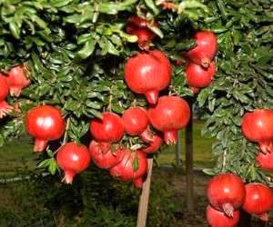 چگونه درخت انار را در گلدان پرورش دهیم