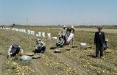برداشت سیب زمینی از مزارع اردبیل به روایت تصویر