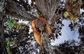 اورانگوتان برعکس برنده جایزه مسابقه عکاسی شد+تصویر