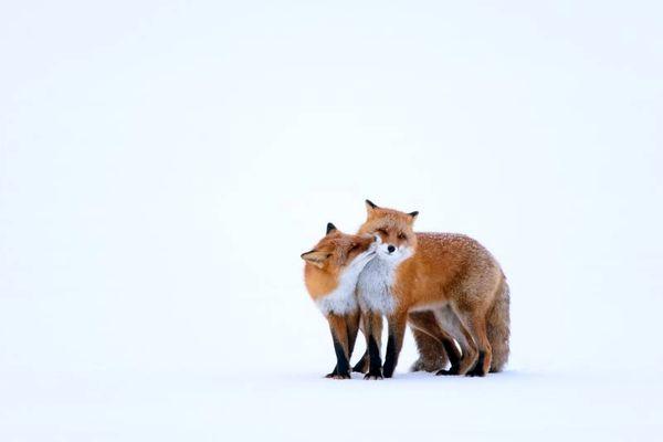 عکس | بازی دو روباه قرمز در عکس روز نشنال جئوگرافیک