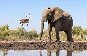 ثبت لحظه ای باورنکردنی در حیات وحش+عکس