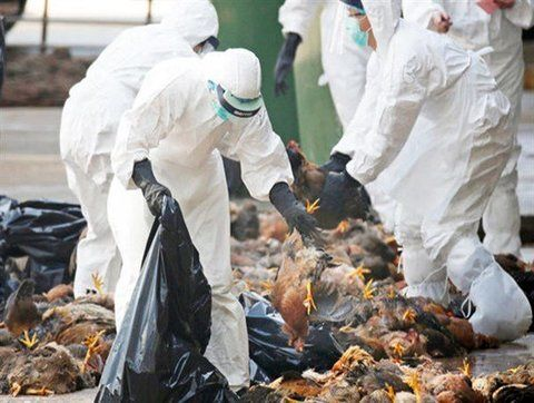 معدومسازی ۱۵۲۰ کیلوگرم گوشت مرغ فاسد در فسا