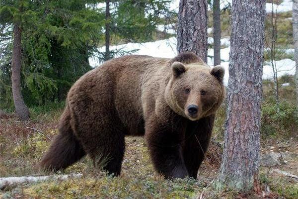 حمله خرس به کودک ۱۰ ساله در شهر دستنا
