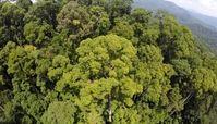 بلندترین درخت گرمسیری جهان کشف شد