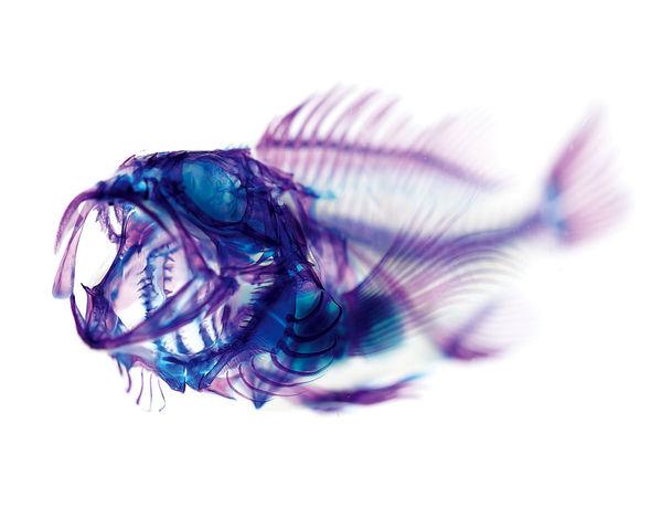 ماهی های شفاف، فقط از غضروف و استخوان