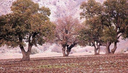 خشکیدگی درختان بلوط در فارس تحت کنترل است