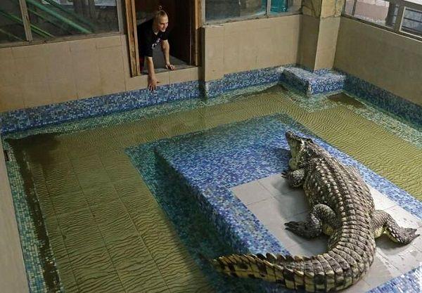 مزرعه پرورش تمساح را دیدهاید؟