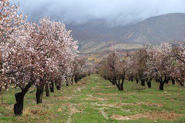 شکوفه های بهاری درخت بادام