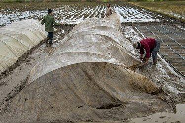 آنها اخرای فصل زمستان دانه های برنج را محلی به اسم خزانه قرار داده تا از سرما زدگی جلوگیری کنند
