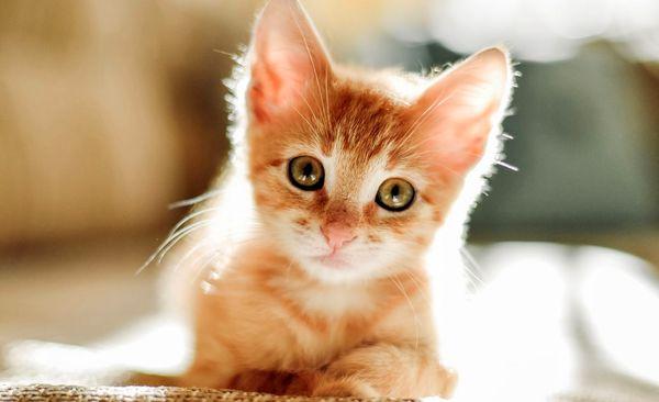 شناسایی اولین گربه مبتلا به کرونا در فرانسه