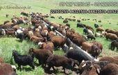 عرضه ی انواع دام و گوسفند زنده در تهران