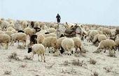 واردات هفتگی ۵۰ هزار راس گوسفند زنده