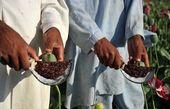مجمع تشخیص مصلحت به دنبال قانونی کردن استفاده از حشیش و تریاک؟/ باب کردن دوباره کشت گیاهانی همچون خشخاش