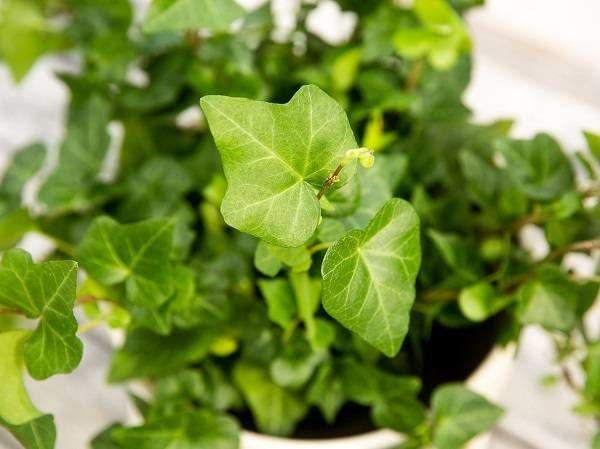 گیاه پیچ انگلیسی