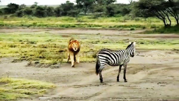 فرار از سرنوشت گورخر آفریقایی!/ کاریکاتور