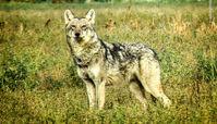 گرگ خاکستری در قزوین