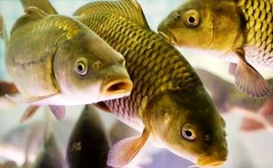 تلف شدن ماهیها در اندونزی+ عکس