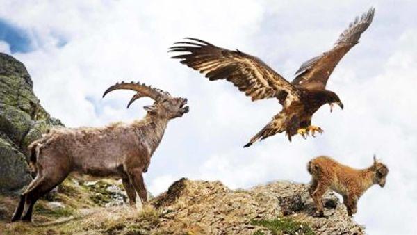 پرت شدن عقاب و شکارش از کوه+ فیلم