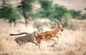 تصاویر | فرار آهو از چنگ ۲ یوزپلنگ