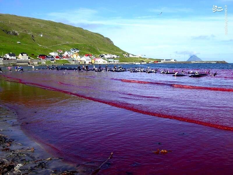سنتهای غیرانسانی؛ کشتن صدها دلفین در دانمارک و کشتن هزاران مار در آمریکا +عکس و فیلم