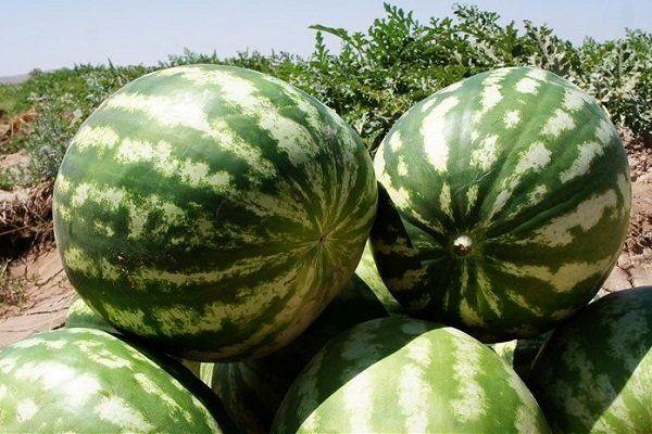 روزانه 2000 تن هندوانه از ارومیه صادر می شود