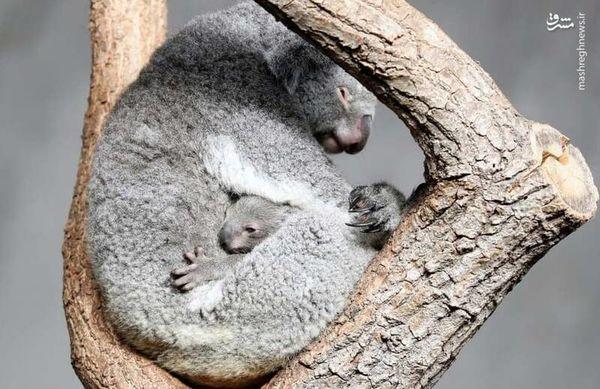 خواب ناز کوالا و بچه بر روی درخت+ عکس