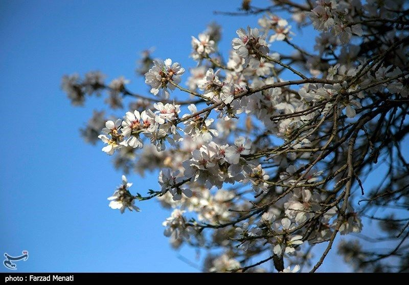 شکوفه های بهاری - کرمانشاه