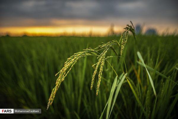 صفر تا صد کاشت برنج به روایت تصویر