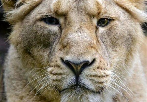 وحشت اعجاب انگیز شیرهای بالغ از یک موجود کوچک