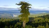 تفاوت ارتفاع بلندترین درخت دنیا با دیگر درختان+ فیلم