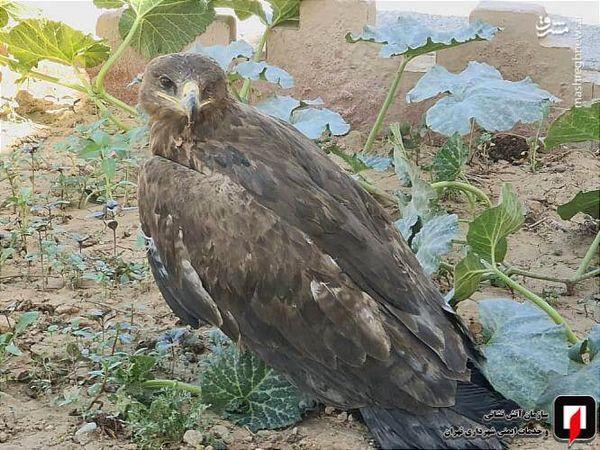 صید عقاب در دانشگاه شاهد + عکس