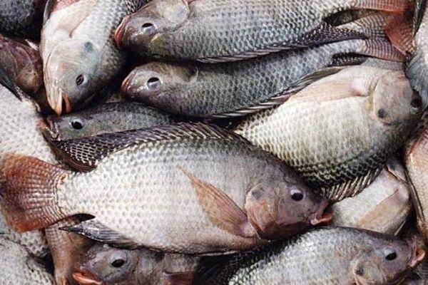 تولید ماهیان گرم آبی 15 درصد کاهش دارد