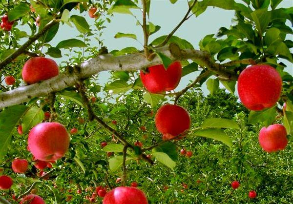 علت افزایش قیمت سیب درختی چیست؟