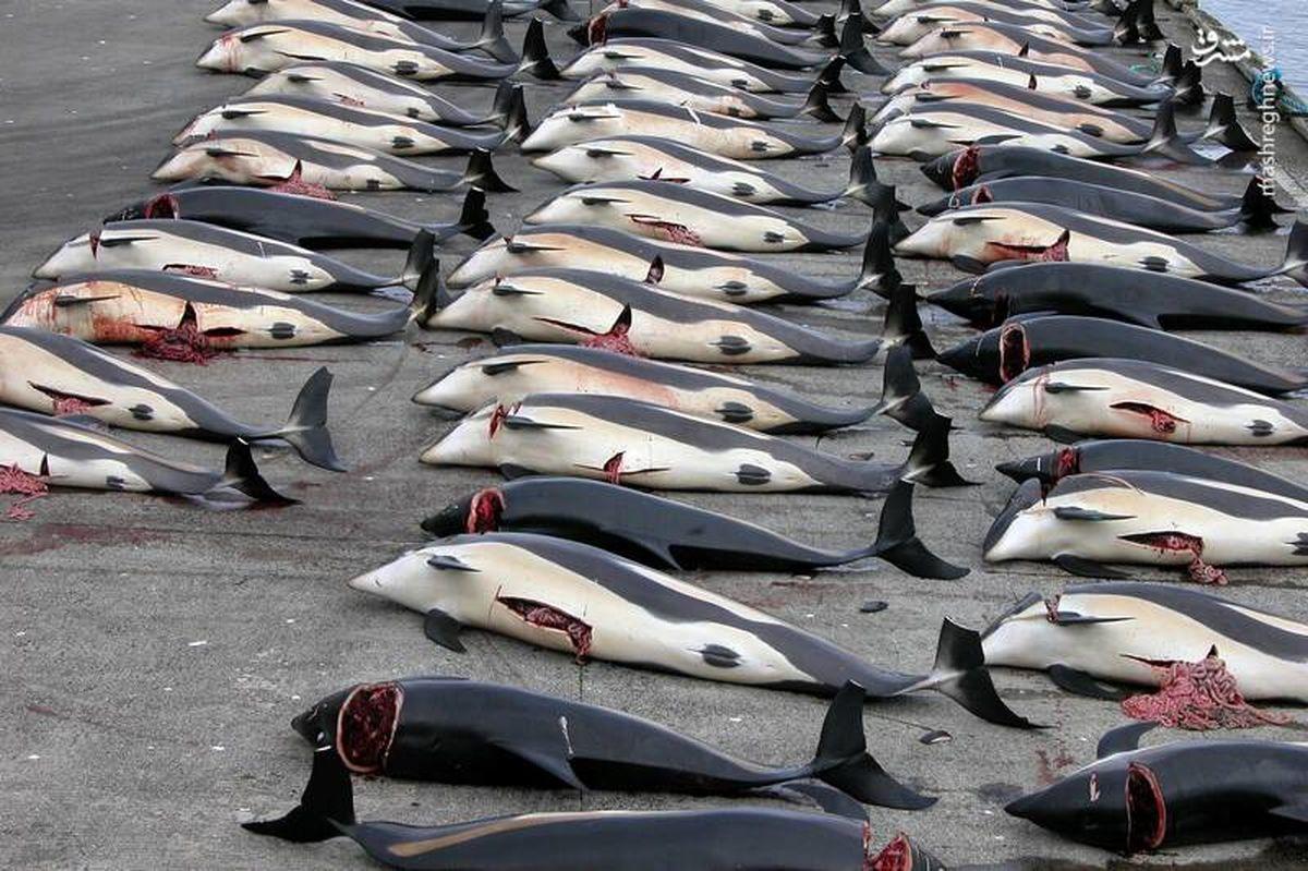 سنتهای وحشیانه و غیرانسانی غربی ها برای کشتن حیوانات + عکس و فیلم