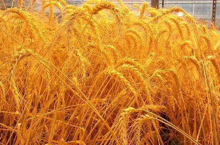 گلستان رتبه دوم تولید گندم را بدست آورد