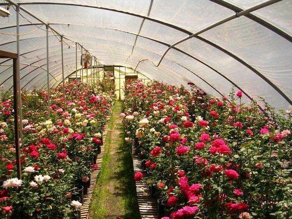 گلهای رز آبی در طبیعت وجود ندارند